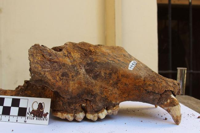 Cave bear skull from Natural History Museum in Belgrad, Serbia (R. Kowalczyk/PA)