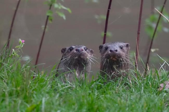 Otters on the look-out by Daily Echo Camera Club member Gary Jacobs