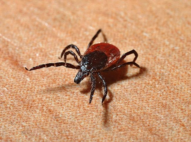 Ticks that can spread brain illness have been found in New Forest - the first time they have been identified in UK