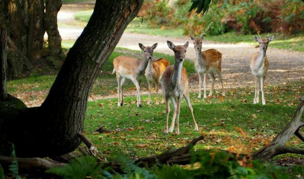 Daily Echo: Curious deer at Bolderwood. Photo by: Jeremy Clarke