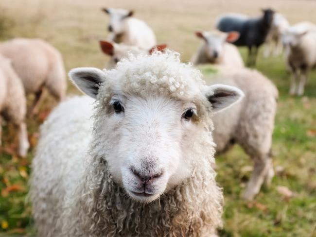 Four teenagers have been sentenced by the courts for injuring sheep.