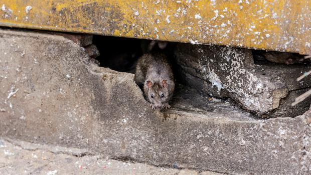 Daily Echo: How to prevent rats in your home. Credit: BPCA