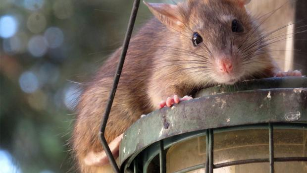 Daily Echo: What to do if you think you have rats. Credit: BPCA