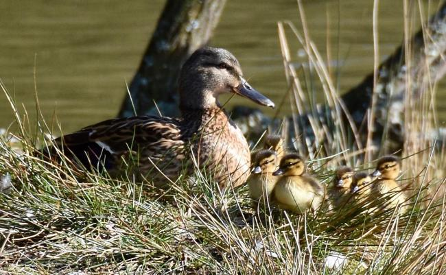 Stock image: Ducks - photo by Pamela Mary Bell..