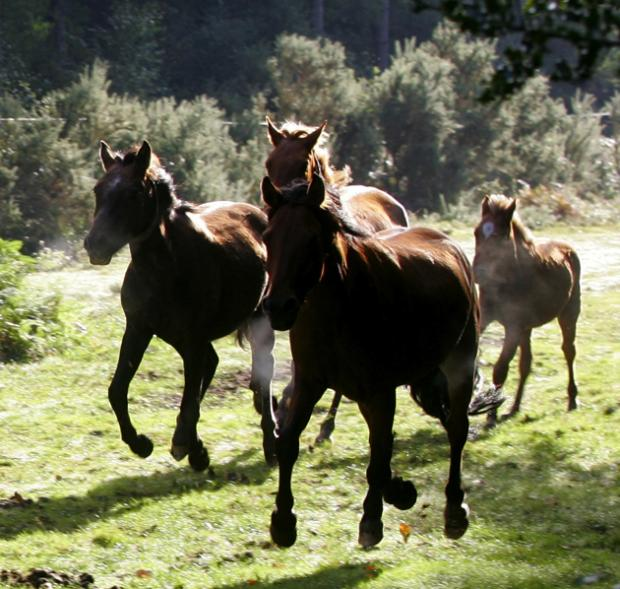 Daily Echo: New Forest Ponies