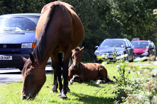 Drop in number of animal accidents in New Forest