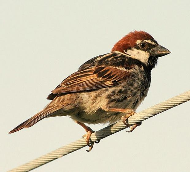 Stock image of a Spanish Sparrow. Photo by Francesco Canu