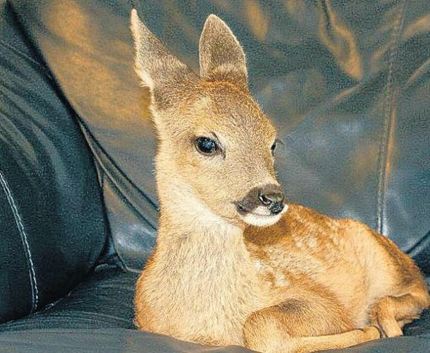 RESCUED: Bracken has now returned to life with her fellow deer