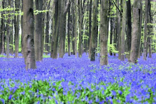 Bluebell season this year is likely to be less impressive than usual, say experts.