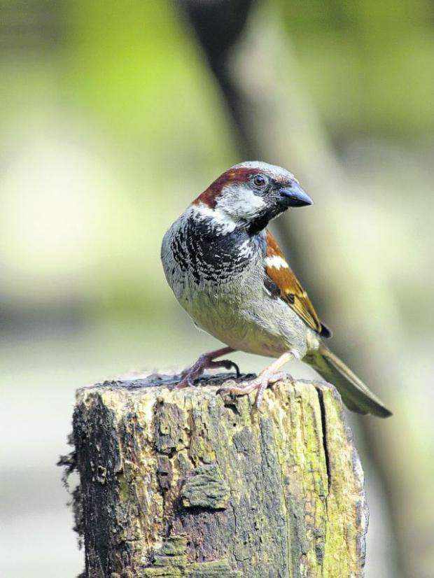 The house sparrow is Hampshire's most-seen bird.
