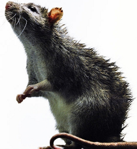 Popular pub infested with rats