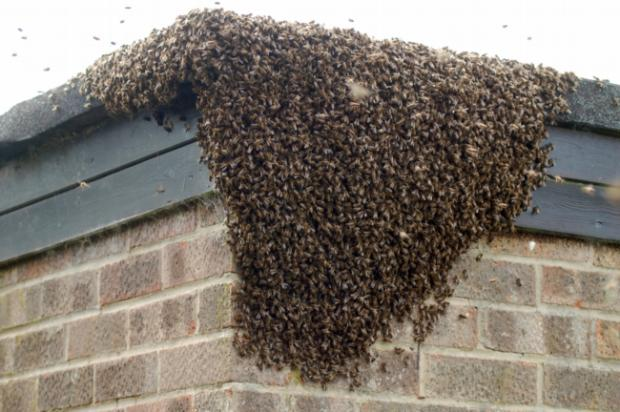 Oh Bee-Have: The bee swarm in Romsey