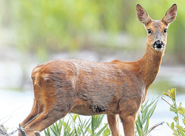 Deer mauled by dogs at Hampshire beauty spot