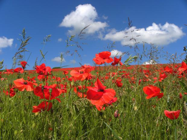 A blaze of red poppies at Titchborne, photgraphed by Daily Echo reader Charles Cuthbert