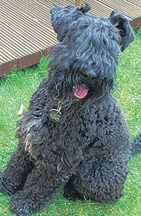 Frankie, the Kerry blue terrier