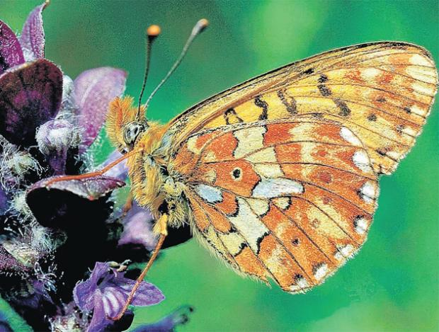 The pearl-bordered fritillary butterfly