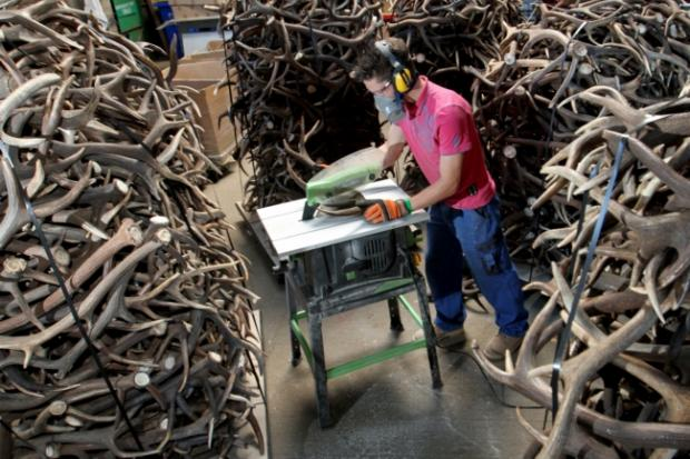 Antlers being turned into dog chews at the Pure Dog factory near Southampton