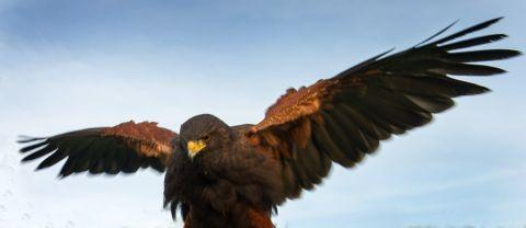 Bolt the Harris Hawk