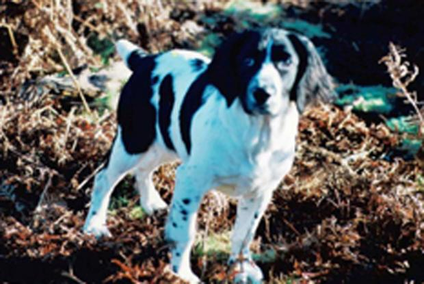 Fenn, one of the stolen springer spaniels