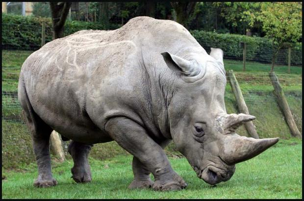 Marwell Zoo's rhinos will benefit from a new £2.8m enclosure