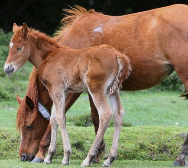 Daily Echo: Are we eating New Forest pony in our burgers?