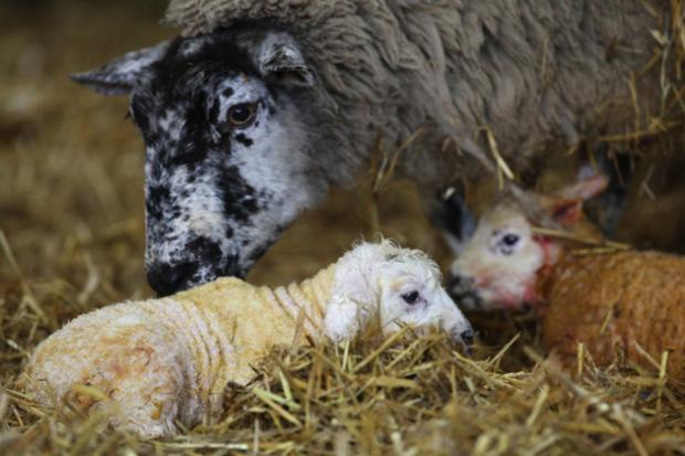 A new born lamb at Sparsholt College.