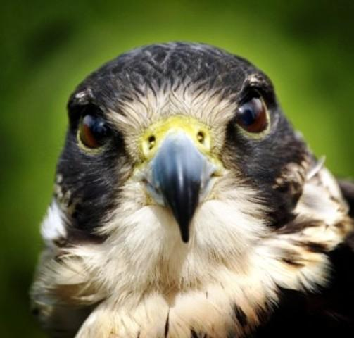 Daily Echo: Peregrine Falcon
