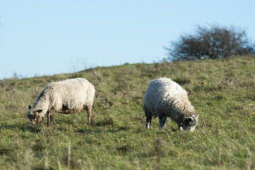 Warning after sheep attack