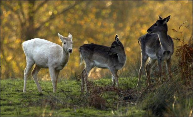 Forest deer will avoid culls
