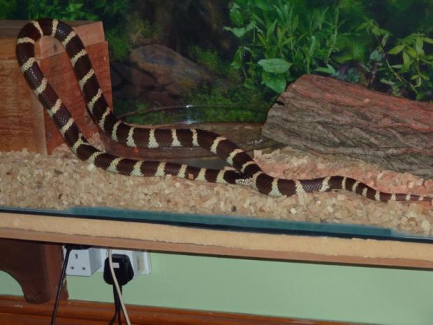 Sammy the Californian kingsnake in his tank.