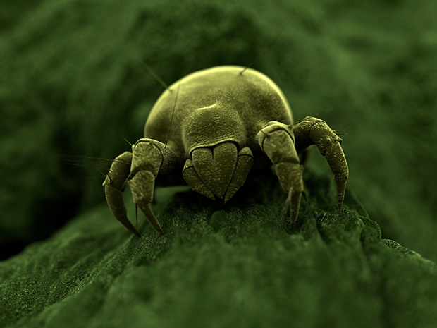Exposure to dust mites could reduce risk of allergy in babies