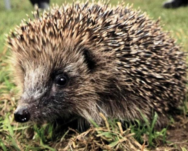 Spike in demand for Hedgehog shelters