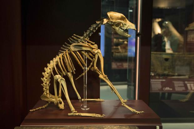 Daily Echo: The bones of Hatch, the ship's dog, in a case at the new Mary Rose Museum