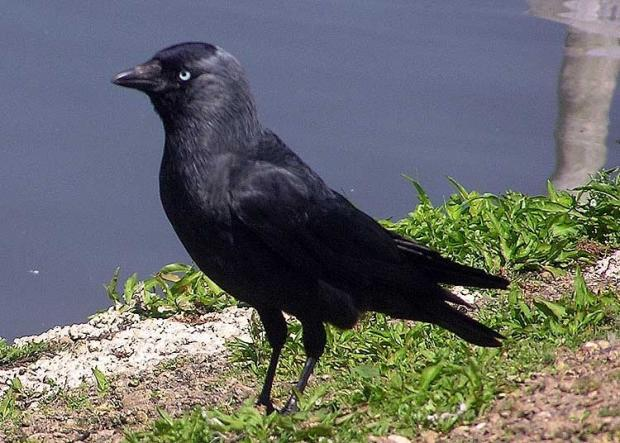 A jackdaw, similar to this one, was trapped in a Winchester chimney