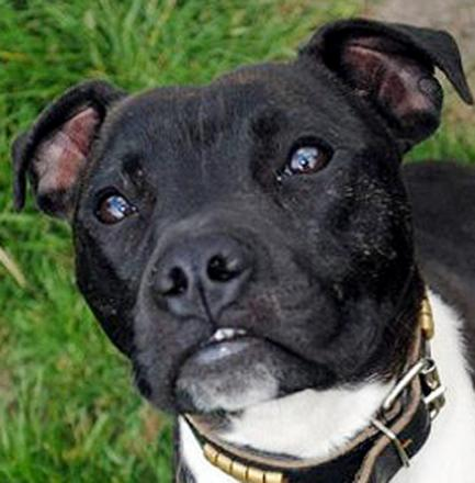 Police seize Staffordshire Bull Terrier after attack