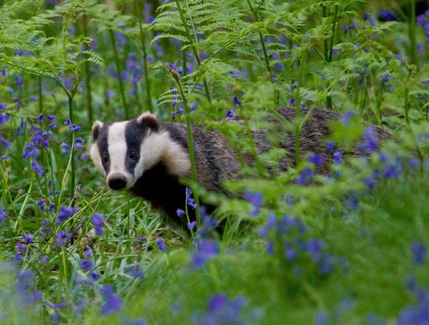 Badgers are safe from culling on land owned by Hampshire County Council.