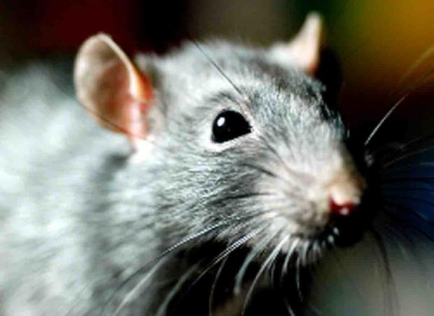 Rat invastion brings misery to estate