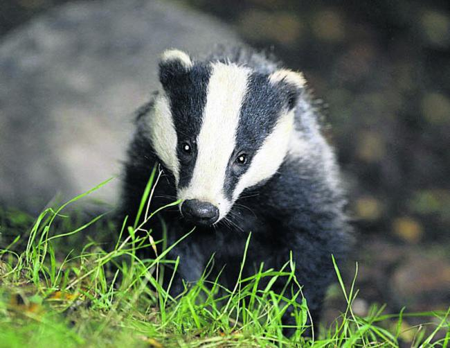 Poison poured into badger setts