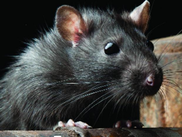 Council acts on rat problem - thanks to Daily Echo