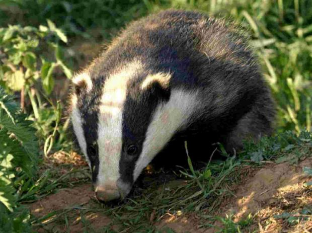 Probe after bid to poison badger setts
