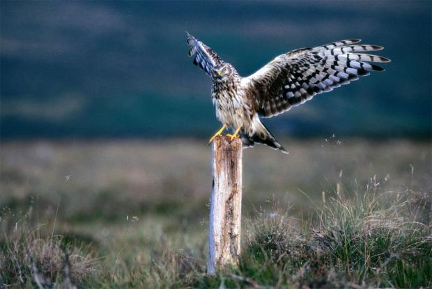 Daily Echo: THE HEN HARRIER: The RSPB has expressed concern about the persecution of birds of prey