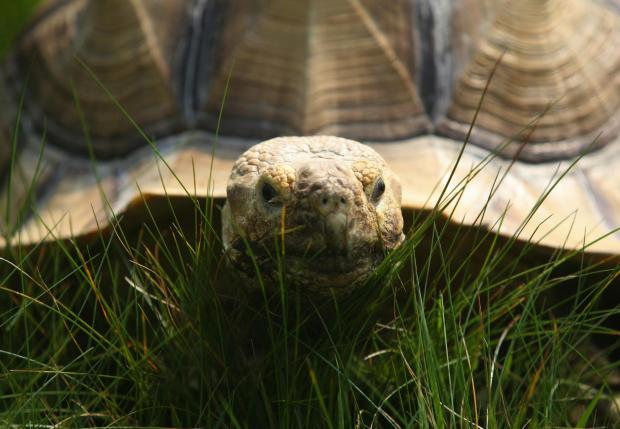 Daily Echo: Library image of a tortoise