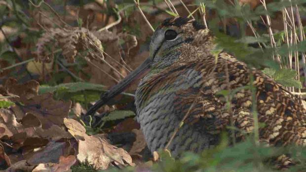 Rare woodcock birds in the New Forest