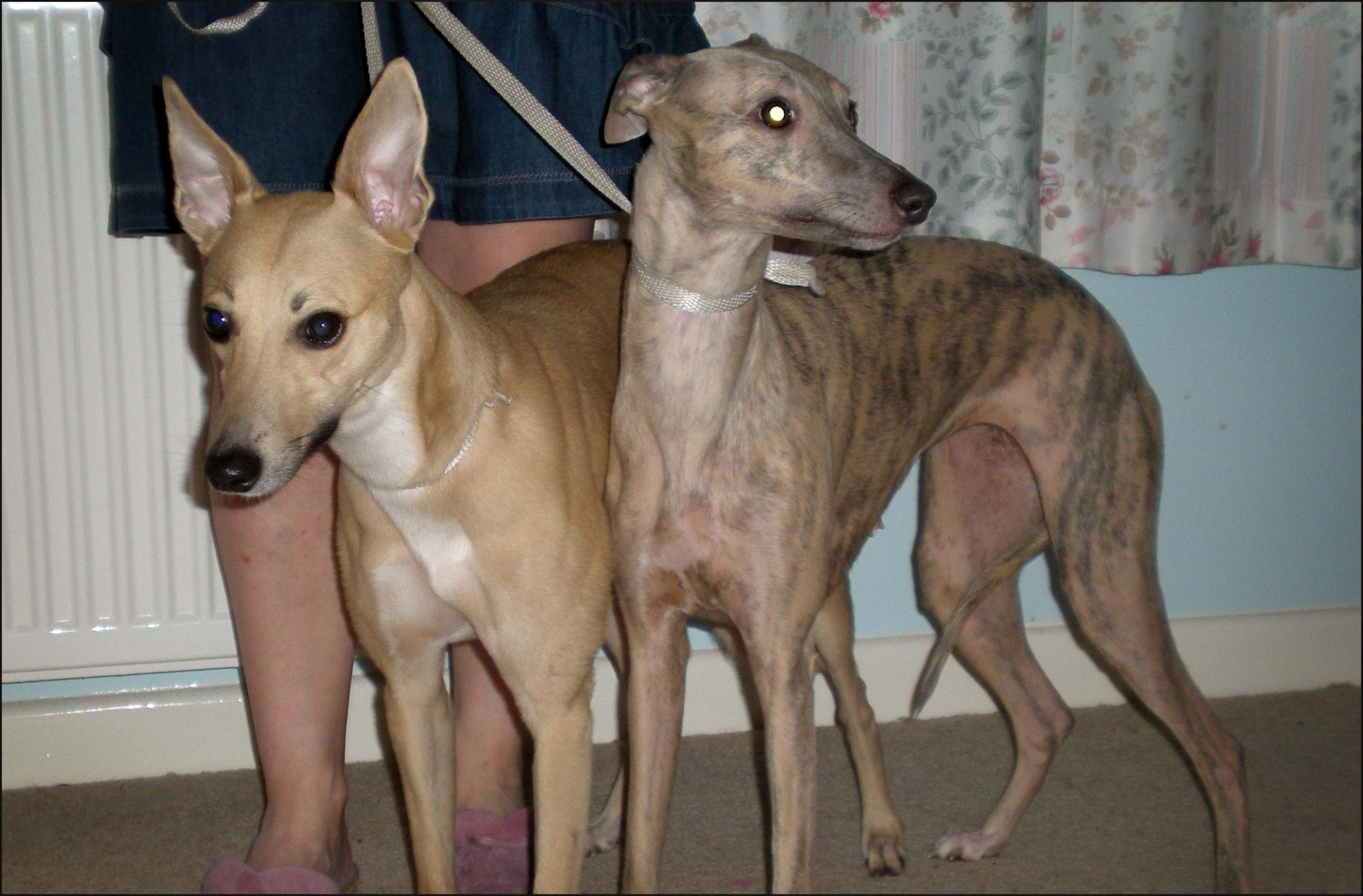 Whippets Poppy and Ashley.