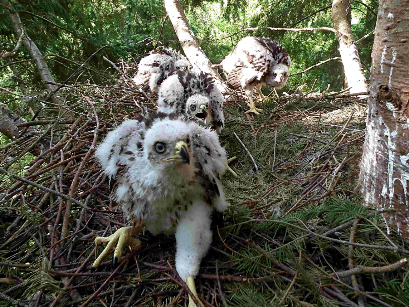 The four goshawks chicks that were the stars of last year's project. Picture by Carnyx Wild