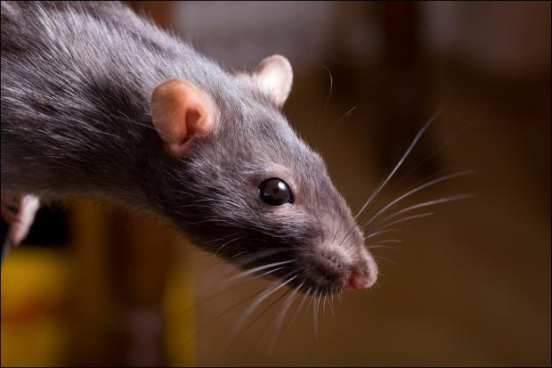 Best place to live 'a favourite for rats'