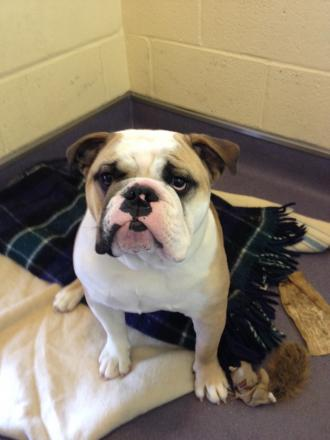 Can you help Winston the bulldog get back on his feet?