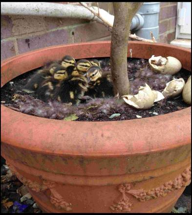 The hatched ducklings in the plant pot. Pic: AnnViney/BNPS