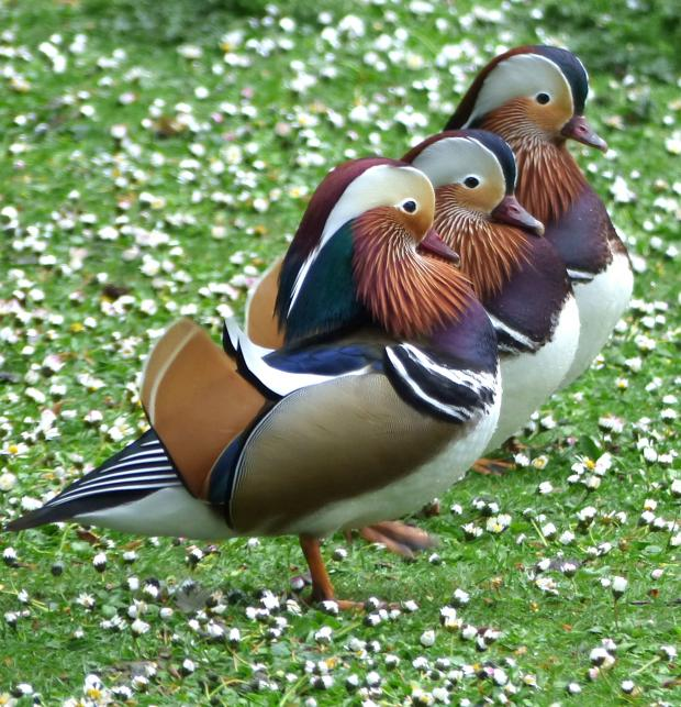 Daily Echo: Mandarin Ducks stand to attention