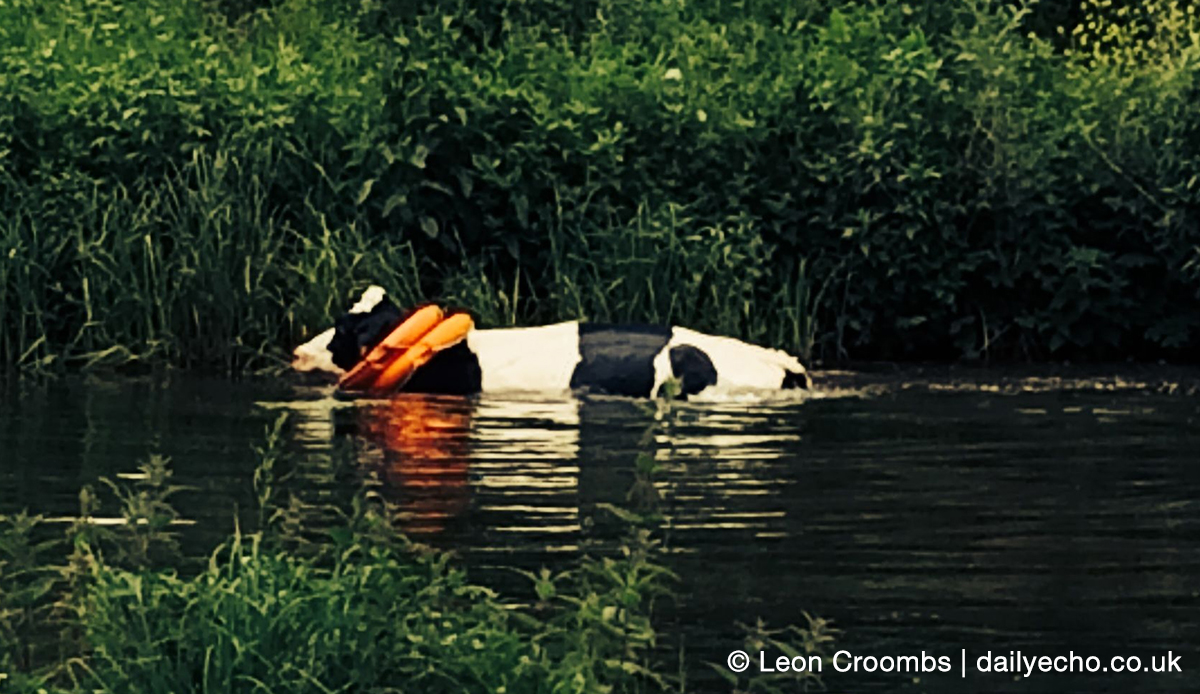 The cow going for a swim wearing rubber rings near Winchester. Photo by Leon Croombss